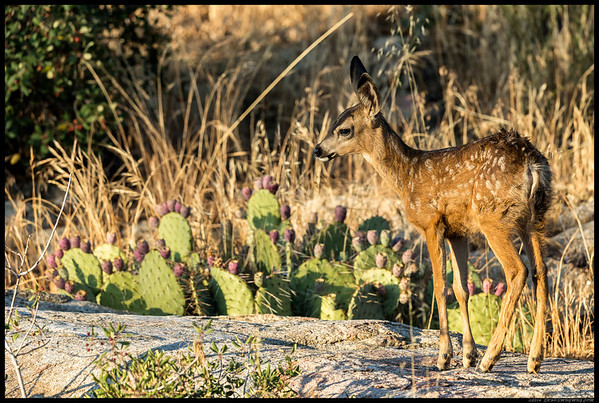 Tiny fawn wandering amongst the rocks.