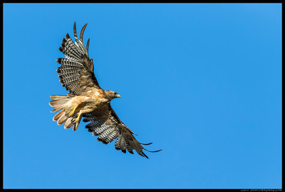 A Red Tailed Hawk just after takeoff.