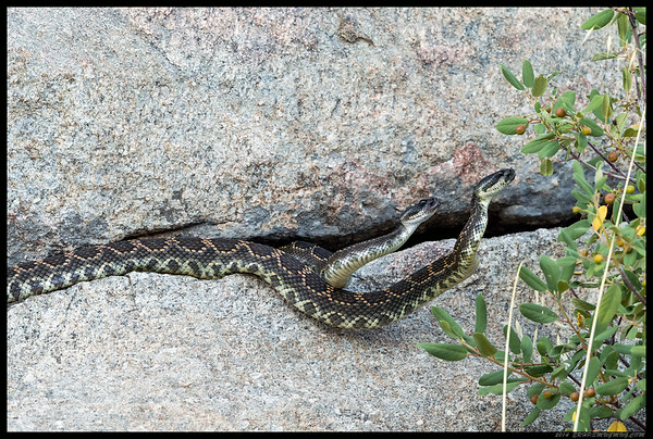 A pair of Southern Pacific Diamondbacks in part two of 'Who gets the rocky crevice room with a view tonight'.   The low snake kept trying to get in but the top one would come out, wrap around the other and literally throw the him down the rock face.  The third time I guess they decided it was getting to cool outside to keep playing.