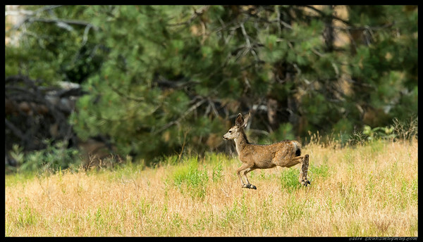 Hoping for the doe and two fawns for a family shot then a car came by and spooked them.  Well, at least I got a few 'hover fawn' shots.