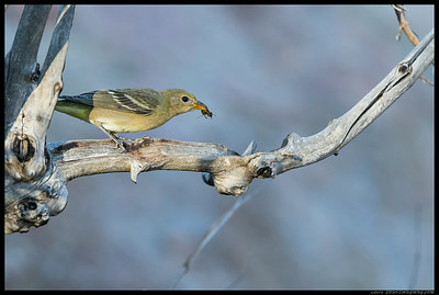 Fairly certain this is one of the two fledgling Bullock's Orioles I took a picture of almost two months ago.  Here she has a wasp and used the hollowed out section of the branch as a bowl for some beak smacking dinner.