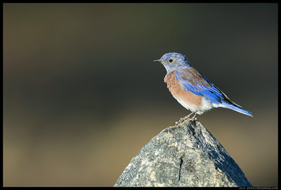 Early morning Western Bluebird perched on a rock near the lake.