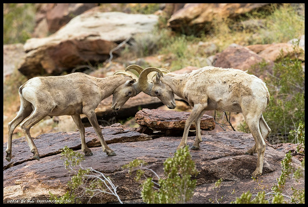 The ram on the left had been drinking from a rain catch in the rock below and when the slightly bigger ram climbed up on the rock above, I guess he felt obligated to defend his drinking spot.