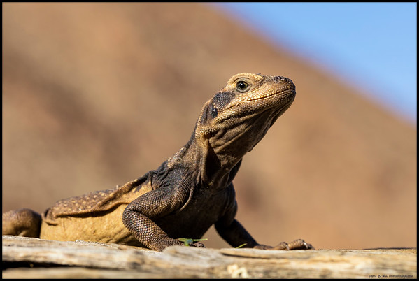 A friendly Common Chuckwalla just hanging out on the remains of a palm trunk.  From time I got to watch the forays off his lookout for the apparently tasty small yellow flowers.