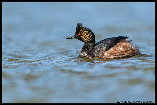 One of the six Eared Grebes hanging out at the lake.  The water level is a bit higher than usual so I was able to lay down in the grass and hide to some degree but the shutter noise gave me away.