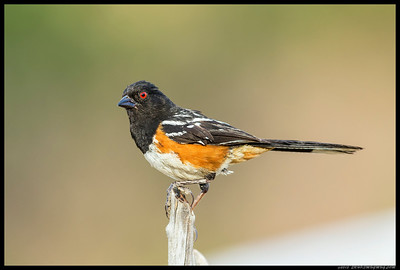 A Spotted Towhee decided this are was safe enough for an uncovered appearance.