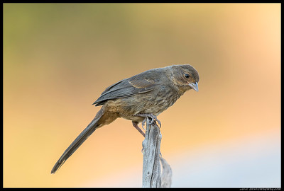 A juvenile California Towhee stopped by for a drink.