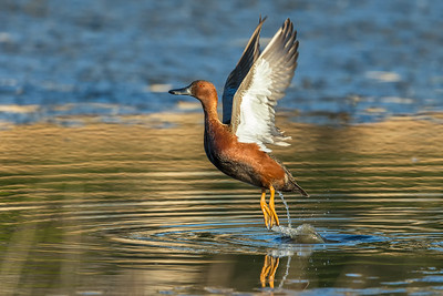 Cinnamon Teal on takeoff.  I find it somewhat amusing that the 12FPS of the 1DX seems to match up with some of the ducks wingbeats, especially on takeoff, giving you roughly the same position each shot.