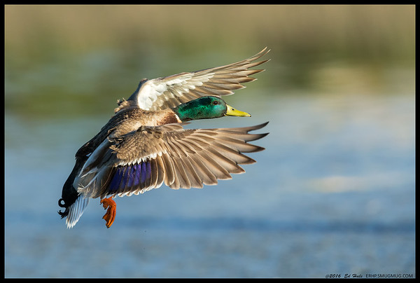 Drake Mallard showing off the colors just before landing.