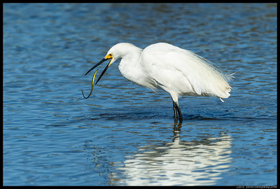 """Get in ma belly!"" said the Snowy Egret to the eel."