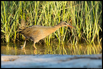A Ridgway(Clapper) Rail making its way across a recently flooded area in search of a snack.