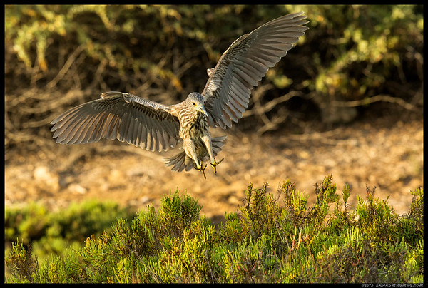 Juvenile Black Crowned Night Heron coming in for a landing.