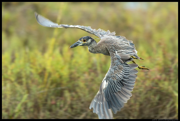 I was taking some shots of this Yellow Crowned Night Heron crabbing when it took off and headed towards me.  None of the usual flight precursors so the settings weren't optimal for flight, especially under the lighting conditions.