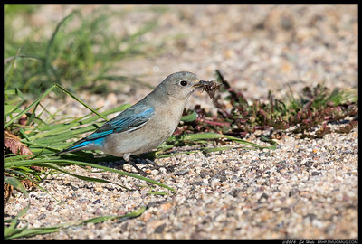 Female Mountain Bluebird with a cricket for lunch.