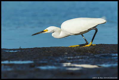 Sometimes the little fish get stuck as the tide goes out and this Snowy Egret is practicing some stealth moves to insure a snack.