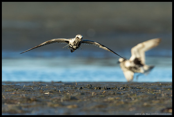 A pair of Black Bellied Plovers were chasing each other around on the mudflats.
