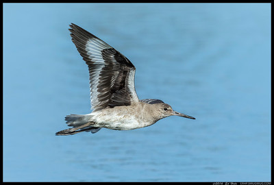 This Willet took a very confusing path for me to follow before finally flying in front of me.