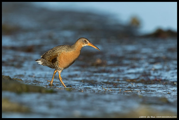 Ridgeway Rail out for a morning stroll on the muddy banks.