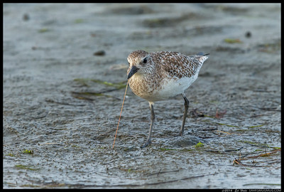 Juvenile Black Bellied Plover playing tug of war with a marine worm.
