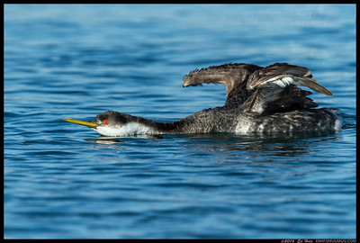 Western Grebe getting a stretch into the day's 'busy' routine.