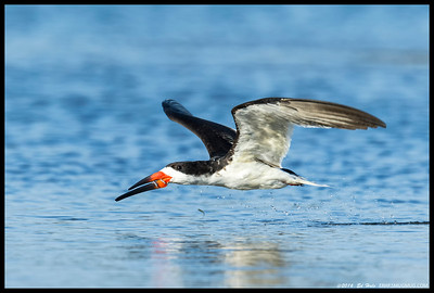 Black Skimmer with the rewards of successful skimming hanging from the bill.