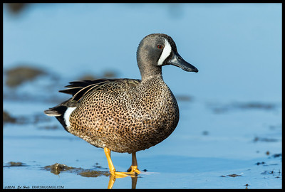Blue Winged Teal in the late afternoon light.