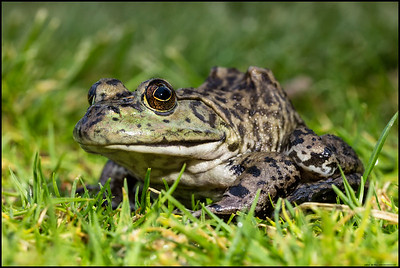 """""""I've got my eye on you!""""  Large Bullfrog in the grass."""